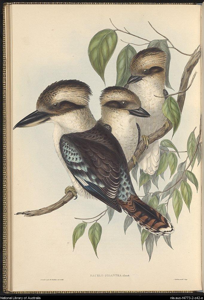 kookaburra_gould