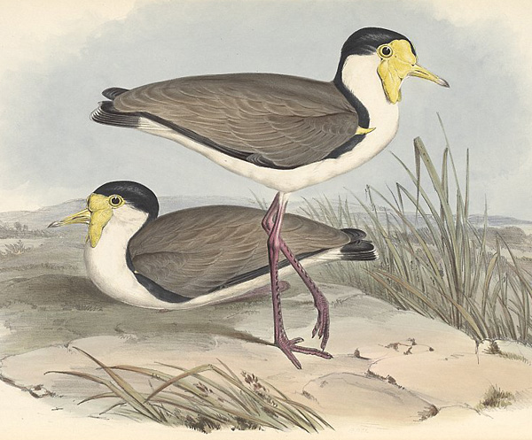 masked_lapwing_gould