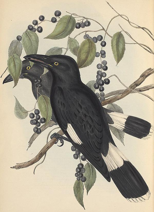 Australian birds – SOUNDS LIKE NOISE