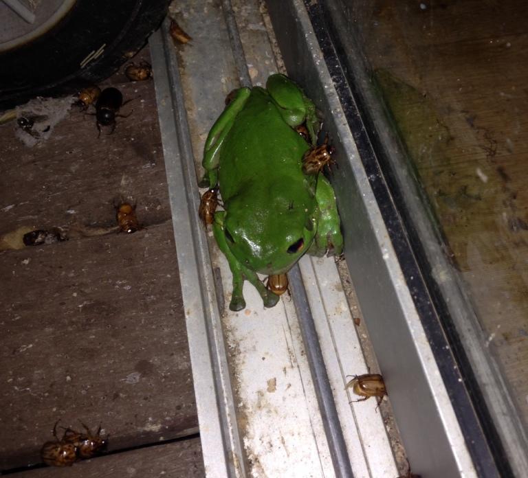 Frog n beetles