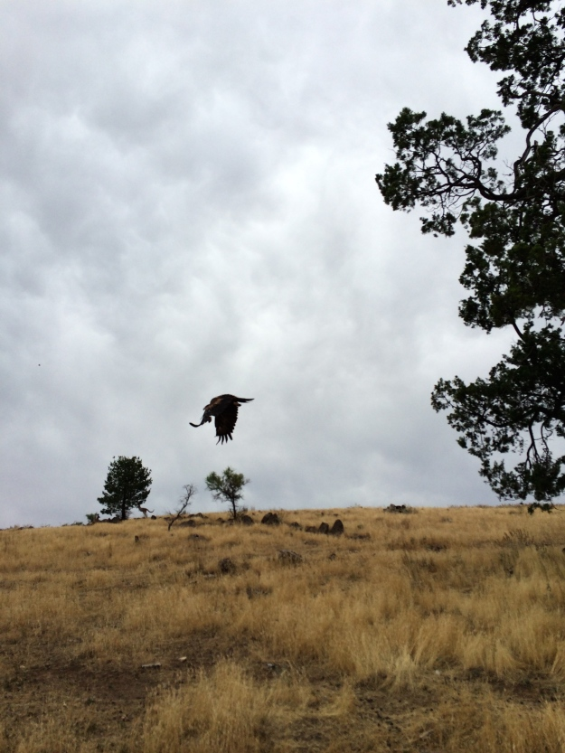 Flinders eagle